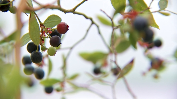 Climate Change Is Adversely Affecting Jersey Berries