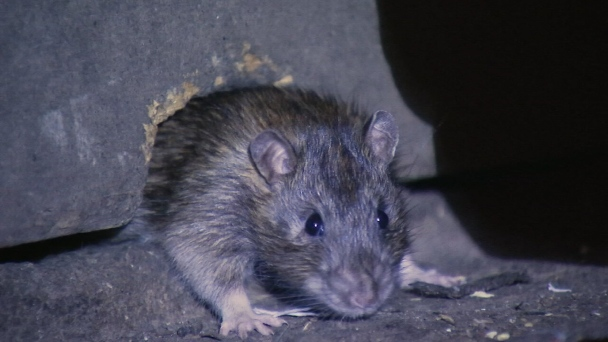 Even Philly's Poshest Neighborhoods Have a Rat Issue