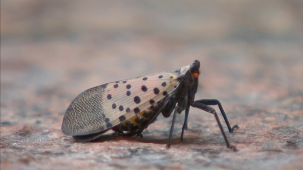 [PHI] Spotted Lanternfly Invasion Could Impact Price of Wine