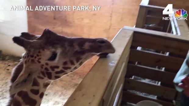 [NATL-NY] Delivery Nears for April the Giraffe