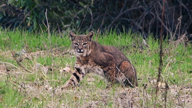 Bobcat Spotted in Santee