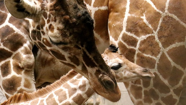 [NATL] Adorable Zoo Babies: Indianapolis Zoo Welcomes Baby Giraffe