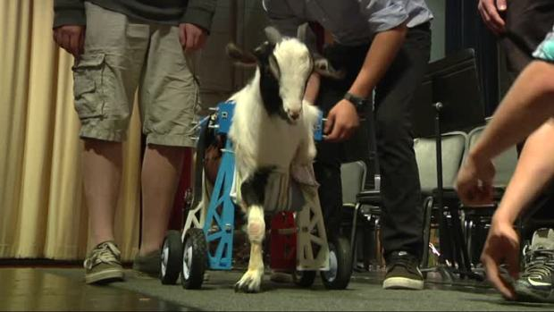 [NATL] Goat On The Go: Students' 3D-Printed Wheelchair Gives Goat Mobility