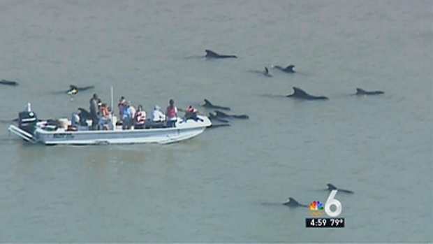 [MI] 10 Whales Dead, 41 Still Stranded in Everglades: NOAA