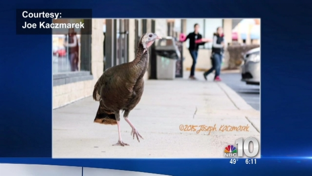Wild Turkey Wanders in Front of Philly Store