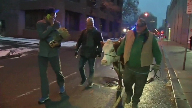 Raw: Stormy the Cow Is Led Back to Nativity Scene, Again