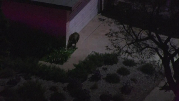 [NATL-LA] Wild Bear Chase Through Sylmar Neighborhood