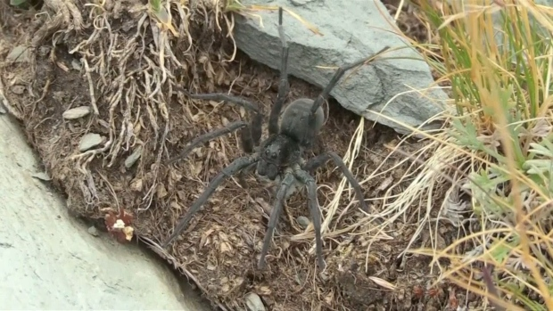 [NATL] Scientists: Global Warming May Threaten the Giant Alpine Spider