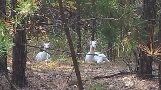 White Deer Appear in Area Woods