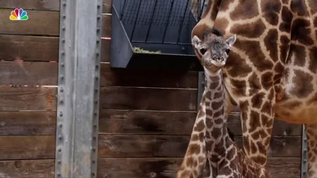 [NATL] Giraffe Born in Houston, Now-Famous April the Giraffe Still Pregnant