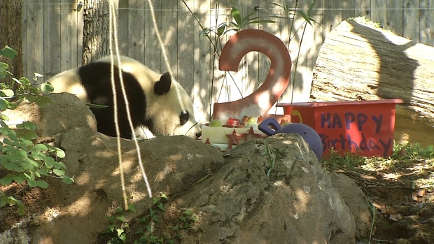 [NATL] Bei Bei the Panda Celebrates 2nd Birthday at National Zoo