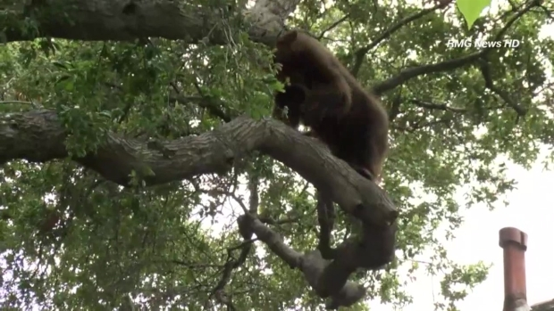 [LA] Bear Performs Balancing Act on Apartment Roof