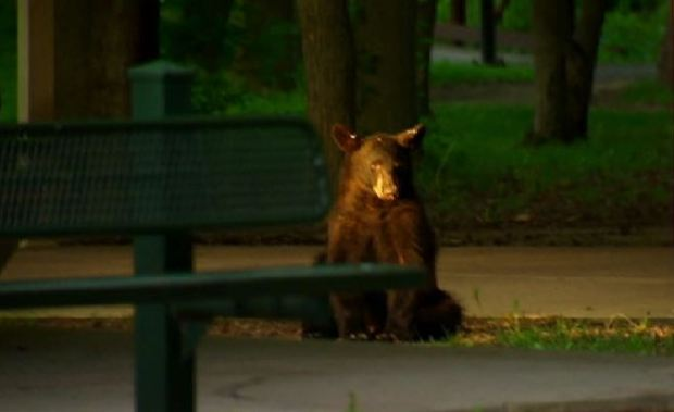 Bensalem Black Bear on the Run
