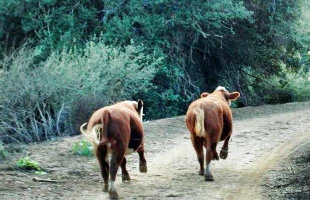 [LA] Wild Cows Shock Joggers In Chino