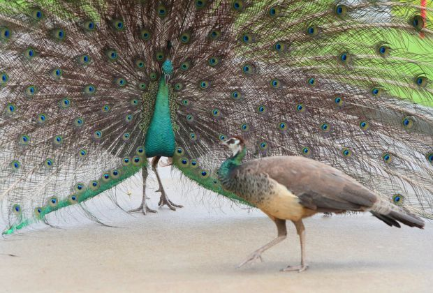 Five Fun Facts About Peafowl