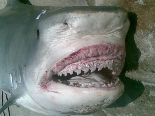 Extremely Graphic Pics: Man-Eating Shark Caught