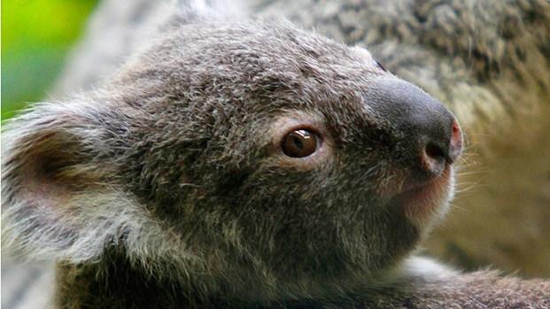 [DGO] Koalas Move Into New Home