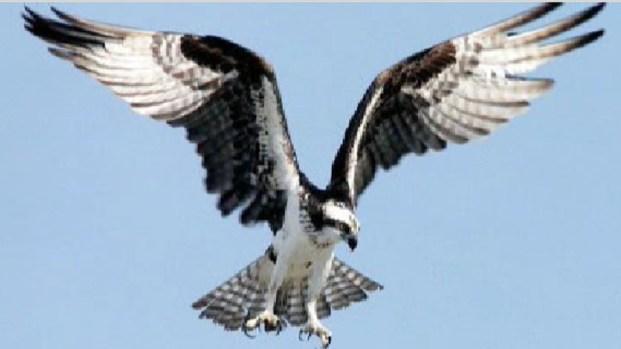 [PHI] All Eyes on New Jersey's Osprey Bird Population