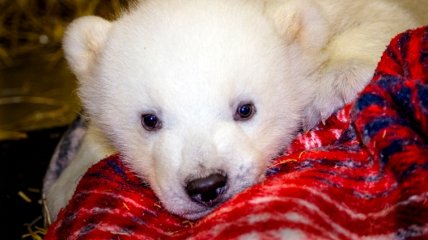 "[AP] Meet Cute, Baby Polar Bear ""Kali"""