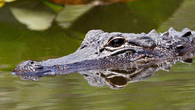 Knock, Knock: No Joke, a Gator's at the Door (Again)