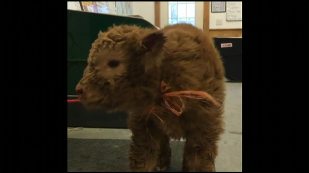 Farm's Video of Baby Cow Goes Viral