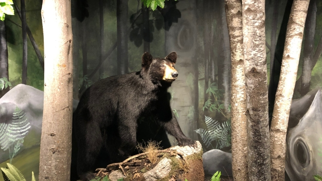 Bear Hunting in NJ Begins Again