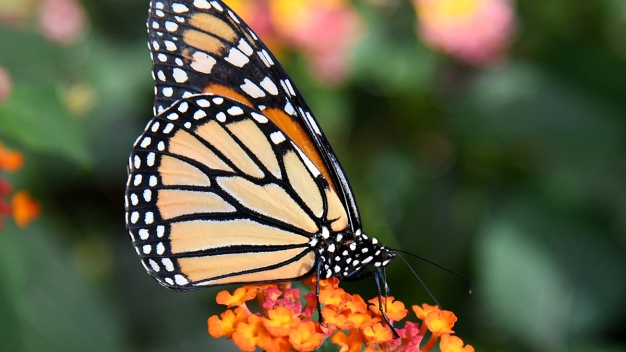 Monarch Butterflies Make a Late Appearance in Cape May Point