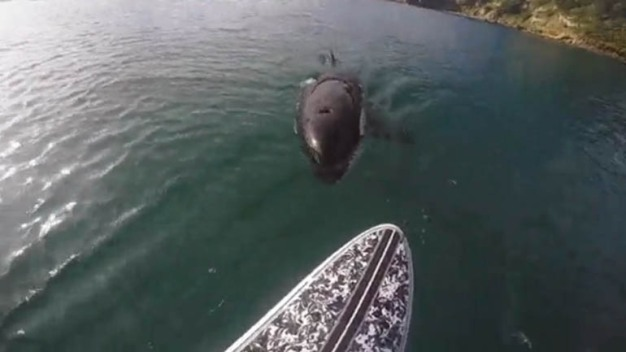 WATCH: Orca Whale Startles Paddleboarder in New Zealand