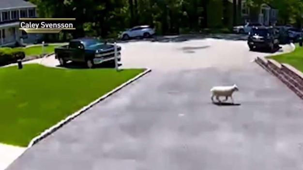 It's Baa-ck! Party Sheep on the Lam Captured in NJ