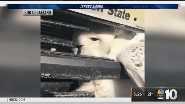 Rare Snowy Owl Rescued After Struck By Car in NJ