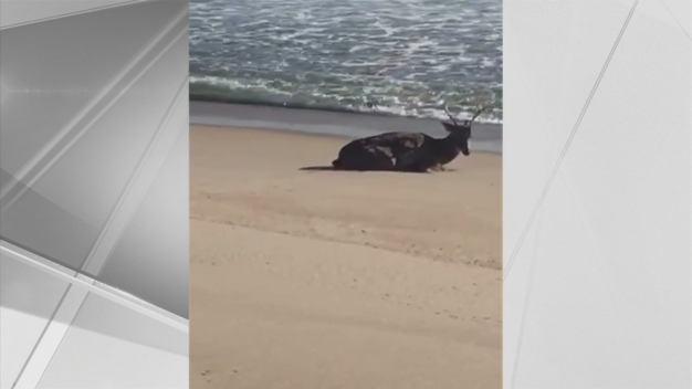 Buck Stuck on NJ Beach