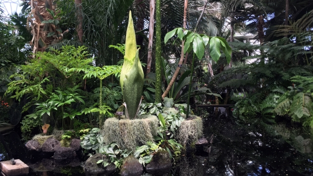 Flower That Smells Like Rotting Flesh to Bloom at NY Botanical Garden