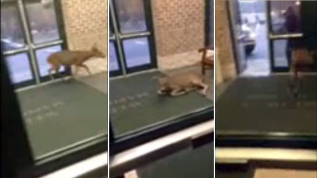 Video Shows Rogue Deer Trapped in Lobby of NJ High School