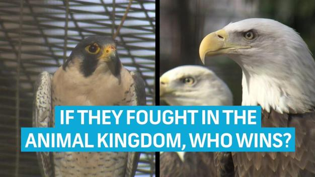 Zookeeper Confirms: An Eagle Would Destroy a Falcon