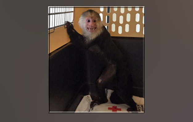 Exotic Monkey Won't Be Reunited With Owner: SPCA