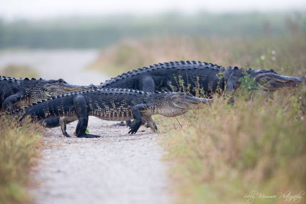 Man Films 'Never-Ending' Gator Parade in South Florida