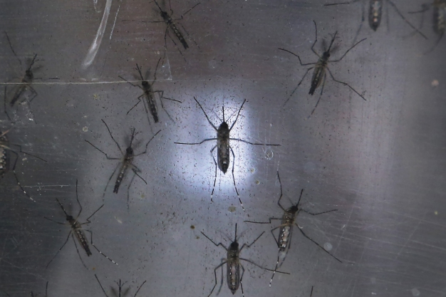 Living With Zika Mosquitoes