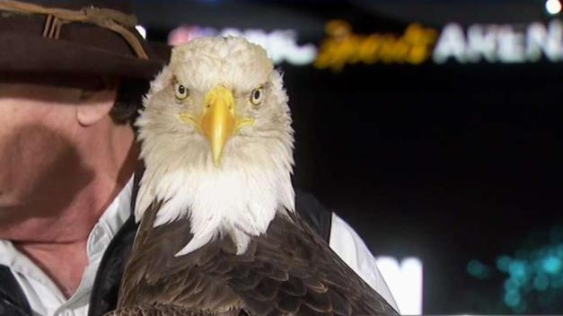 Challenger the Bald Eagle Ready for Sunday's Game