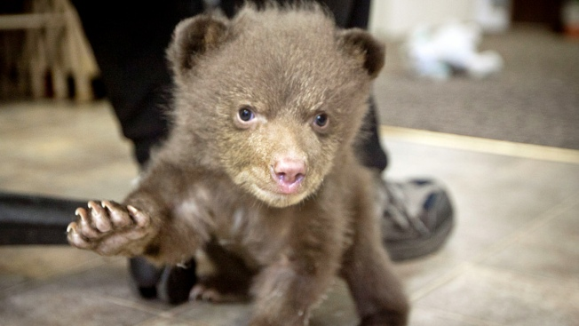 """Mystery of Rescued Bear Cub """"Tahoe"""" May Be Solved"""