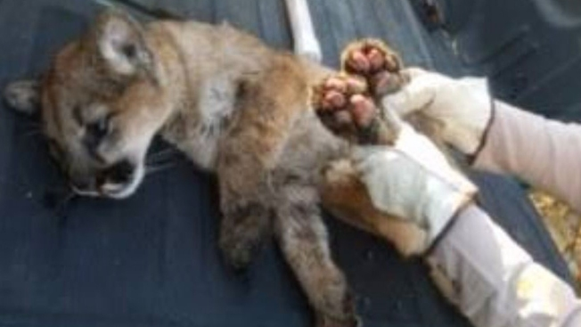 Mountain Lion Cub Burned in California Fire Rescued
