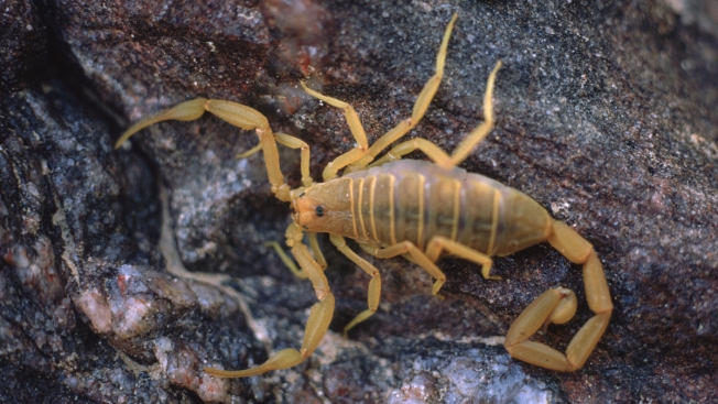 Man Says Stowaway Scorpion Stung Him on United Flight