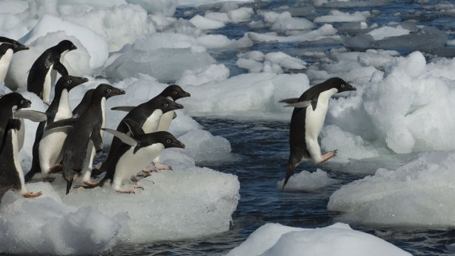 All But 2 Penguin Chicks in Antarctic Colony Die, Alarming Researchers