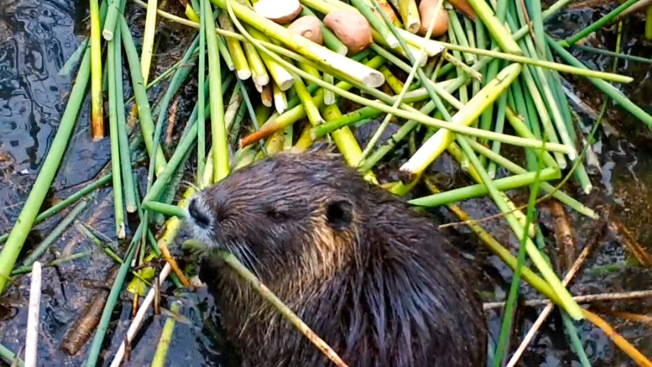Voracious Swamp Rodents Set Off Alarms in California