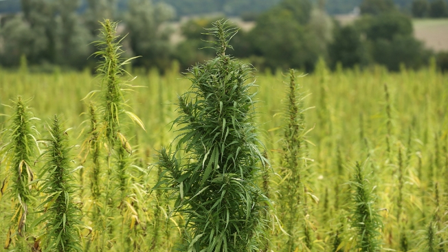 Marijuana Growers Diversify With Hemp Amid CBD Boom