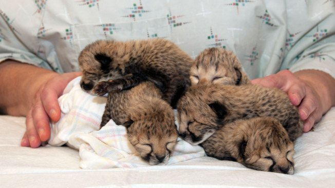 Cincinnati Zoo: 5 Cheetahs Born in Rare C-Section Procedure