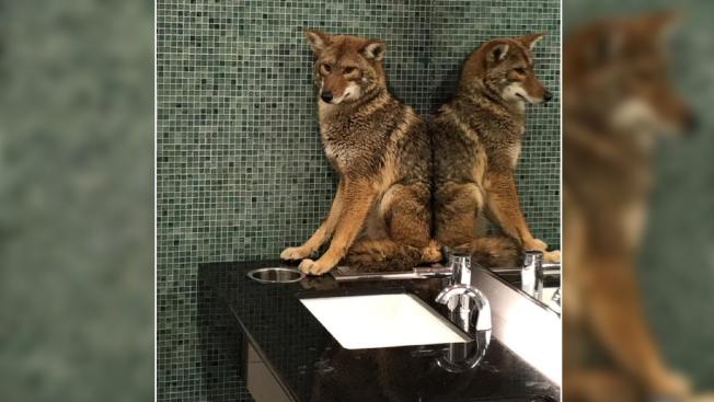 [NATL] Unbelievable Animal Stories: Coyote in Nashville Convention Center Bathroom