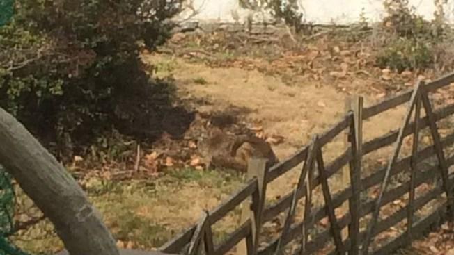 Coyote Spotting in Main Line Backyard