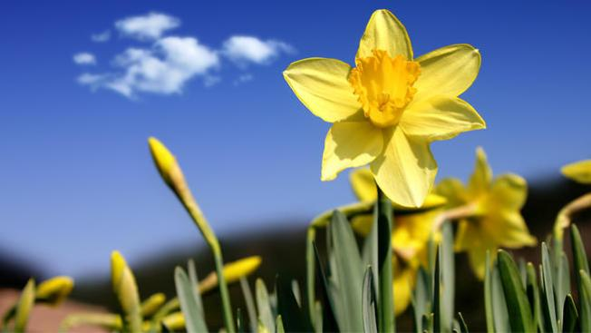Spotlight! Daffodil Days Pick-up