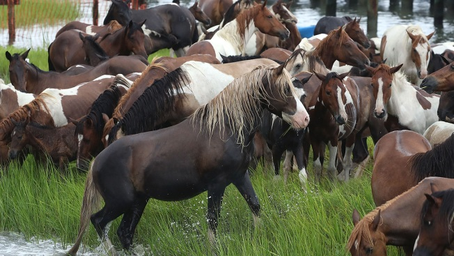Maryland Teen Adopts Entire Herd of Assateague Ponies
