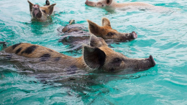 Several of Bahamas' Famous Swimming Pigs Found Dead